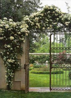 Charmingly entangled white roses over the garden gate.