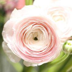 Máme v ponuke vaše obľúbené iskerníky v jemnej ružovej. Vydržia aj 2 týždne vo váze. #kvetysilvia #kvetinarstvo #kvety #svadba #love #instagood #cute #follow #photooftheday #beautiful #tagsforlikes #happy #like4like #nature #style #nofilter #pretty #flowers #design #awesome #wedding #home #handmade #flower #summer #bride #weddingday #floral #naturelovers #picoftheday