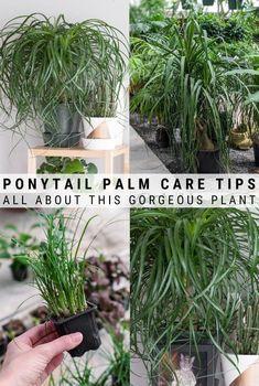 Palm Trees Landscaping, Tropical Landscaping, Tropical Garden, Ponytail Plant, Ponytail Palm Care, Palm House Plants, House Plants Decor, Succulent Fertilizer, Succulent Care