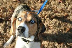 Beagle Mix Dog Beagles: Australian Shepherd And Beagle Mix Australian Shepherd Red Tri, Aussie Shepherd, Shepherd Puppies, German Shepherds, Art Beagle, Beagle Puppy, Blue Merle, Husky, Pocket Beagle