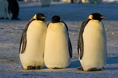 Emperors Penguin live videos - good site