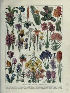 Bromeliaceae, Liliaceae (Lily family) and Irises. Plate taken from 'Les Plantes'by J. Costantinand F. Faideau. Published 1922 by Larousse archive.org