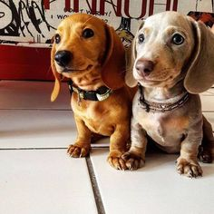 dachshunds I want to Mini doxies or two wire haired scruffingtons. The two sweet babies are touching paws. Feels safer that way.