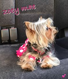Super cute #yorkie Zoey Mae #loves #carrides