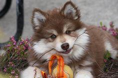 J'ai craqué sur cette chienne lapinkoïra!  IMG_5300 by ainokainen, via Flickr