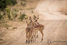 Website dedicate to Wildlife photography Wildlife Photography, Animal Photography, Kruger National Park, African Animals, Safari Animals, Impala, Mammals, Giraffe, Game