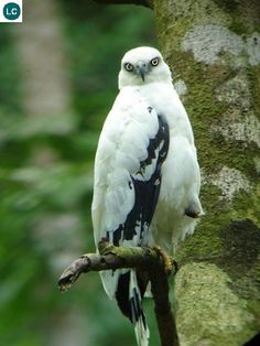 https://www.facebook.com/WonderBirds-171150349611448/ Diều hâu trắng; Họ Ưng- Accipitridae; Trung và Nam Mỹ    White hawk (Pseudastur albicollis) IUCN Red List of Threatened Species 3.1 : Least Concern (LC)(Loài ít quan tâm)