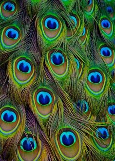 Picture of Peacock tail feathers forming a pattern filling the frame stock photo, images and stock photography. Feather Wall Decor, Peacock Decor, Peacock Colors, Peacock Design, Peacock Bedroom, Peacock Tail, Peacock Bird, Peacock Feathers, Peacock Quilling