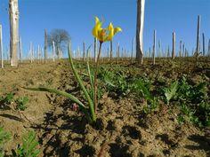 Tulipa Sylvestris ? Une des 10 espèces de tulipes sauvages vivant en Europe, selon wikipédia