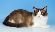 I want a ragdoll cat because I love cats and my cat despises me.