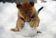 León en la nieve