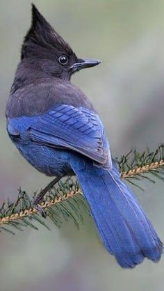 Stellars Jay - Frequent visitor