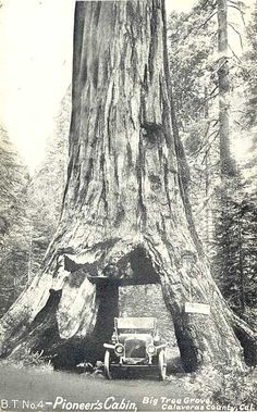 RIP PIONEER TUNNEL TREE. THE 1000+ YEAR OLD SEQUOIA TREE FELL YESTERDAY DURING AN INTENSE STORM IN CALIFORNIA. IT STOOD OVER 130 YEARS SINCE A TUNNEL WAS DRILLED THROUGH ITS BASE IN THE LATE 1800S.