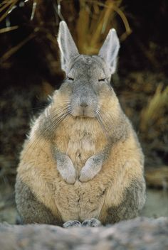 I Am Not a Fat Rabbit! I am a Herbivorous Viscacha. It's Cold So I'm Puffy! I'm from the Pampas. I only Look like a rabbit, but I have a long tail!