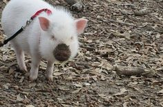 This piglet who is doing some very important digging. | 42 Pictures That Will Make You Almost Too Happy