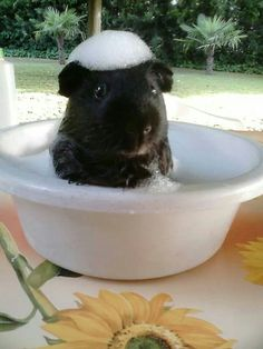 (Ok so, you should never bathe a guinea pig in water unless it is absolutely necessary / last resort - but my goodness this is adorable)