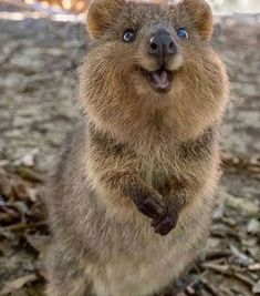 Smiling Animals, Happy Animals, Cute Animals, Feel Good Pictures, Happy Pictures, Wildlife Photography, Animal Photography, Quokka Animal, Canis Lupus