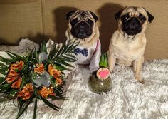 Happy International Women's Day!!! Today I was busy visiting all the ladies in my life and giving them my love and beautiful flowers  #mauricethepug #bubble #bubblethepug #internationalwomensday #IWD #flowers #love #puglife #pugstory #pugchat #8march #8martie #romania #tirgumures #gentleman #pug #mops #dog #puppy