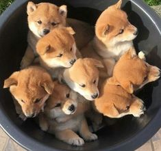 Cute dog dogs puppy puppies animal animals pet pets shiba inu japanese in a bowl adorable funny aesthetic Cute Dogs And Puppies, Baby Puppies, I Love Dogs, Baby Dogs, Amstaff Puppy, Shiba Puppy, Shiba Inu Puppies, Akita Inu Puppy, Puppy Goldendoodle