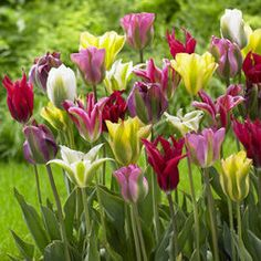 Tulip Viridiflora Mixed - Parkers Wholesale