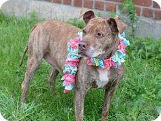 Brooklyn, NY - Pit Bull Terrier Mix. Meet ZOE, a dog for adoption. http://www.adoptapet.com/pet/10991020-brooklyn-new-york-pit-bull-terrier-mix