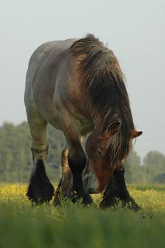 Dutch Draft Horse