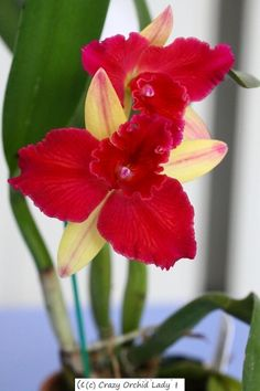 Cattleya Fire Magic 'Solar Flare'