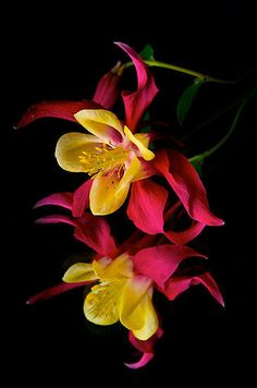 Fuschia blossoms ~ Ana Rosa