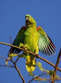 Papagaio-campeiro (Amazona ochrocephala) por Valdir Hobus | Wiki Aves - A Enciclopédia das Aves do Brasil