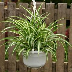 Cleaning your houseplants bring the rewards of clean air and beautiful, healthy plants House Cleaning Tips, Cleaning Hacks, Vertikal Garden, Chlorophytum, Pot Plante, Cleaning Painted Walls, Best Indoor Plants, Light In, Spider Plants