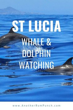 Enjoy watching dolphins and whales in their natural habitat in St Lucia. It's a wonderful experience and an enjoyable day out too! Days Out, Whales, Dolphins, Habitats, Caribbean, Natural, Fun, Life