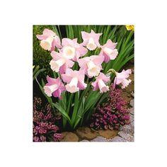 PN1221 Pflanzen - Blumenzwiebeln - Narzissen - Narzisse 'Rosa Trompete',30 Zwiebeln