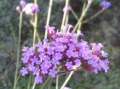 Verbena bonariensis er en meget populær haveplante til bede og som det meget høje islæt i store krukker og plantekasser. Den dejlige sarte lyserøde farve kan kombineres med mange andre sommerplanter. Flot og elegant, høj opret vækst. Højde x bredde: ca. 100 cm x 35 cm. Blomstrer fra august til oktober.