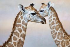 Žirafa Rothschildova, foto: Tomáš Adamec, Zoo Praha - obrázek, velikost 69.52 kB