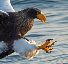 Talons of an Eagle. By @jari_peltomaki Hokkaido, Japan.
