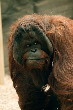 Orangutan at Colchester Zoo by Sophie L. Miller, via Flickr