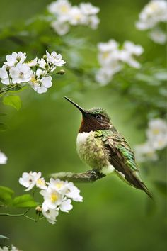 Fauna And Flora - Hummingbird With Flowers by Christina Rollo*