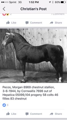 Pony Breeds, Horse Breeds, Soul Friend, High Horse, Horse Facts, Morgan Horse, American Saddlebred, Lineage, Donkeys