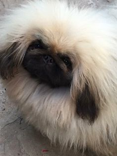 This is Karma owned by Susan Shephard bred by Anita Klerkhoff. And the mother of our next superstar Pekingese Puppies, Pomeranians, Yorkies, Tiny Monkey, Cat Allergies, Fu Dog, Cute Animal Pictures, Beautiful Dogs, Pet Birds