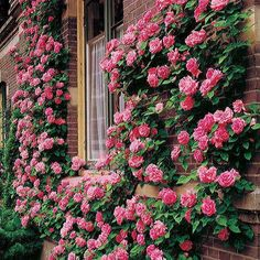 Zephirine Drouhin Climbing Rose. So beautiful!