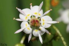 Brook Saxifrage or Stream Saxifrage, a native Plant of Utah. (Saxifraga odontoloma)