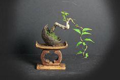 Pixie bougainvillea #bonsai tree, Blooming bonsai Collection from LiveBonsaiTree by LiveBonsaiTree on Etsy