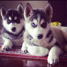 Huskys are so cute!!