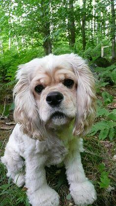 American Cocker Spaniel Puppy
