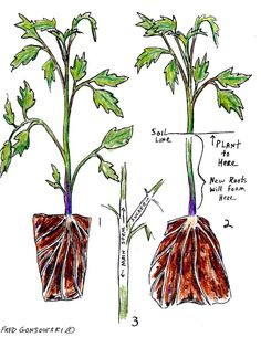 PLANTING TOMATO TIPS; The number ONE RULE, when it comes to planting tomatoes, is to plant them DEEP.