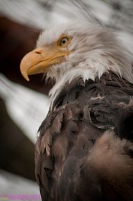 Rescued Bald Eagle at the Alaska Wildlife Conservation Center.