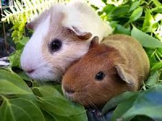 guineapigs - Google Search
