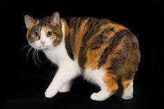 Manx-cute-cat