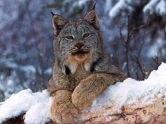 Lynx - winter, lynx, cat, snow