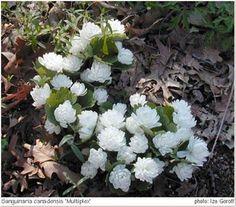 Sanguinaria canadensis multiplex